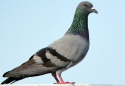 PIGEON-FOR-SALE