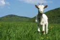 Grass-Seed-for-Cattle-Grass-and-Goat-Grass