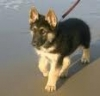 GSDgerman-shepherd-puppy-for-sale